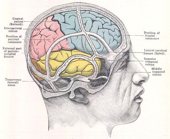 Cunningham_Brain-Skull