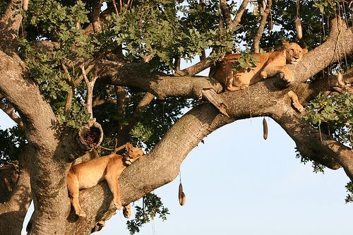 160112074641--two sleepy lions resting in a tree was taken in Kidepo Valley National Park by whl travel